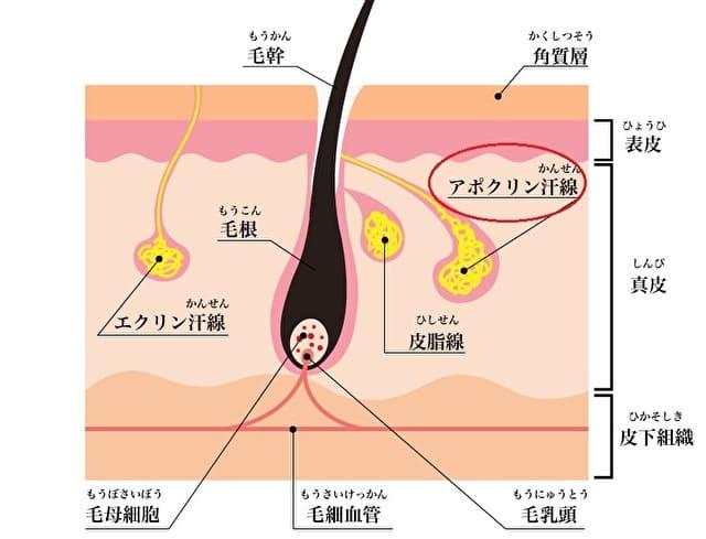 汗腺の説明イラスト