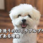マルチーズ犬